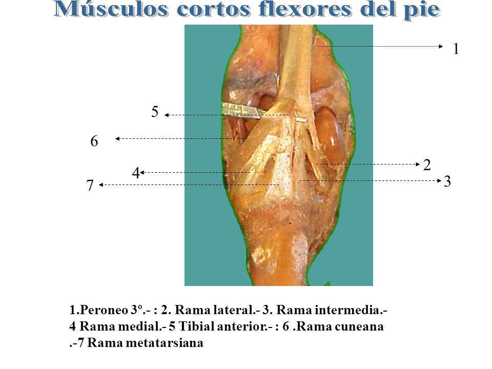 Músculos cortos flexores del pie