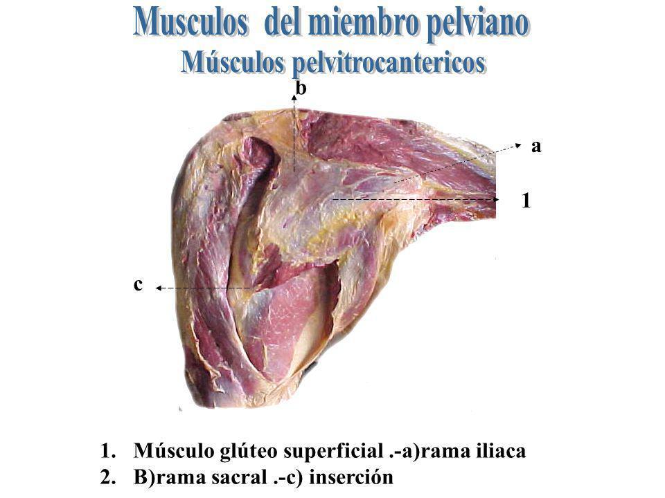 Musculos del miembro pelviano Músculos pelvitrocantericos
