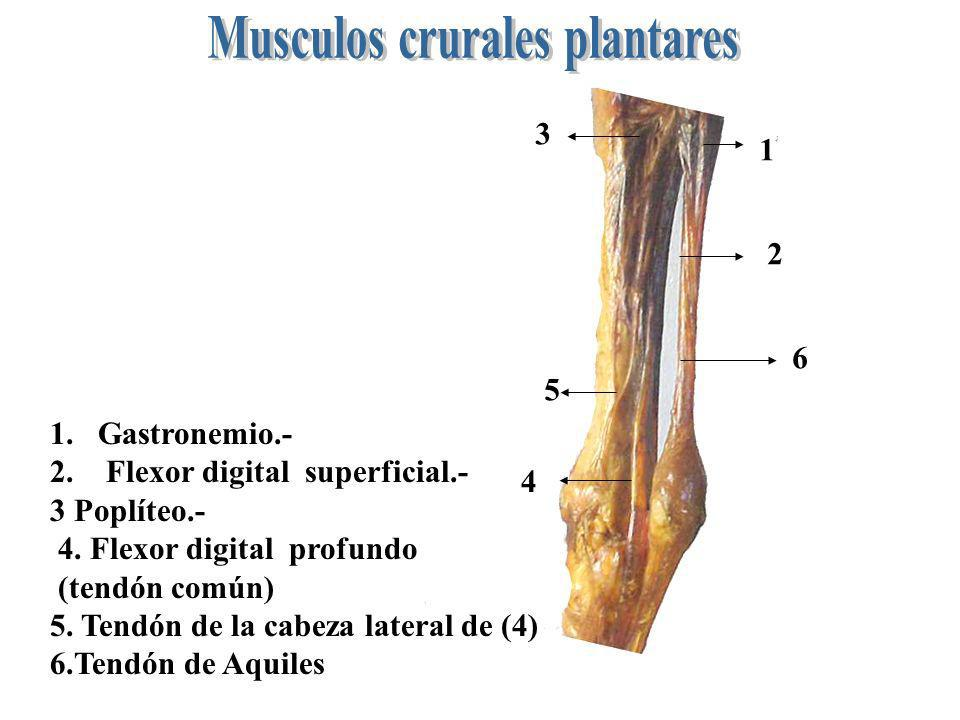 Musculos crurales plantares