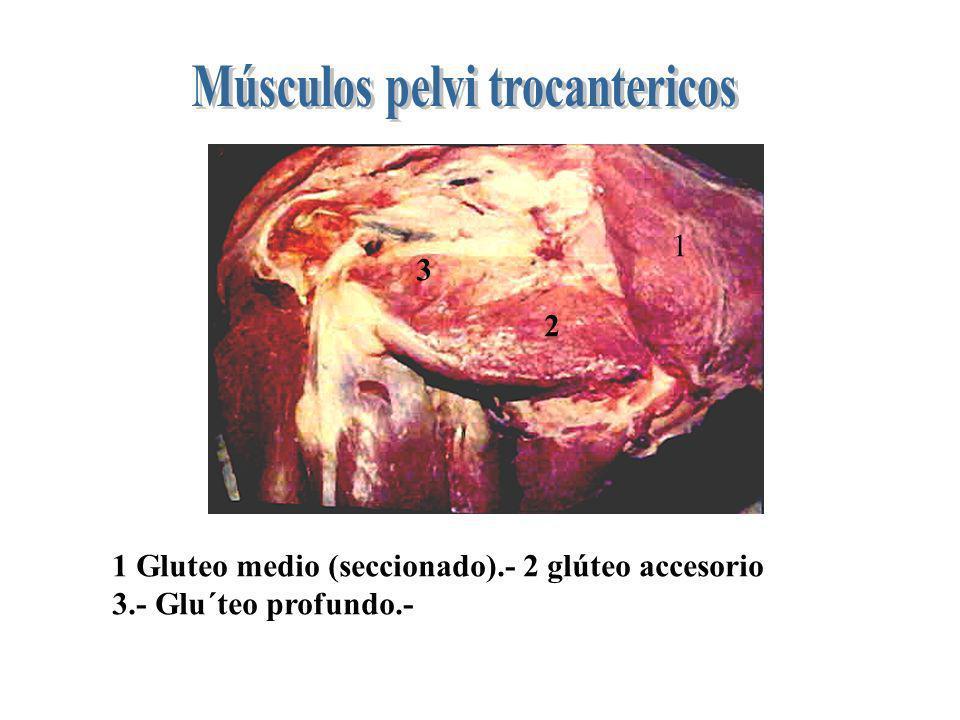 Músculos pelvi trocantericos