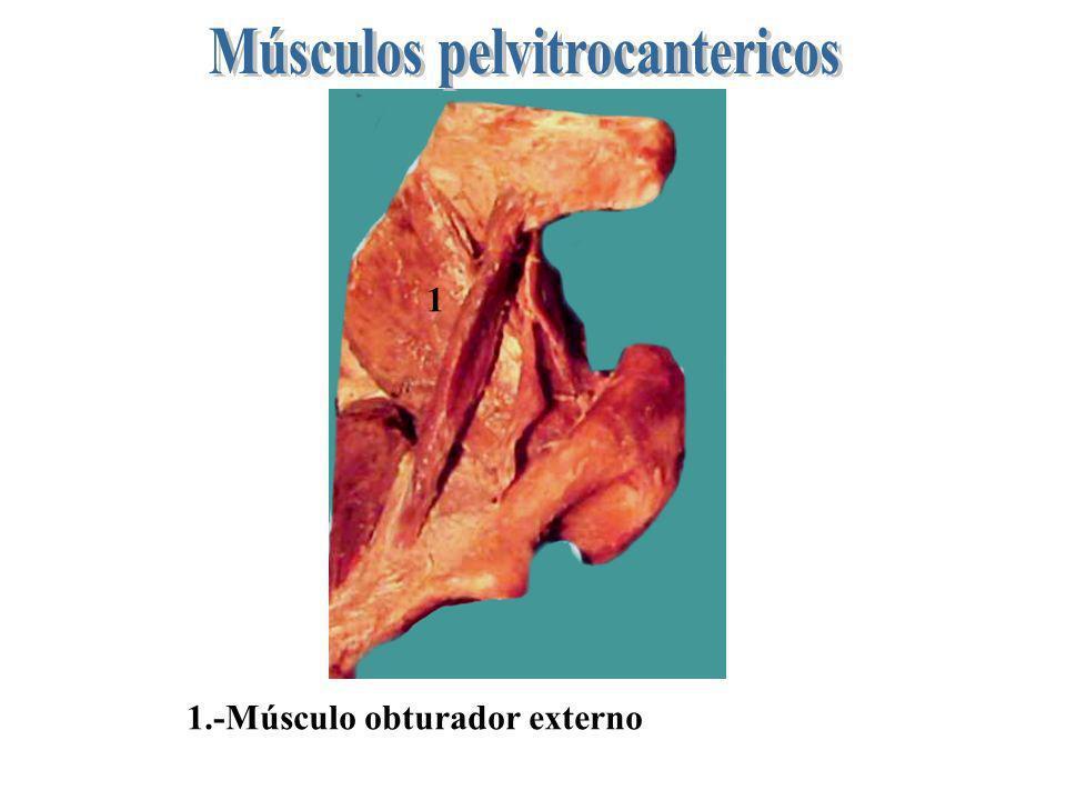 Músculos pelvitrocantericos