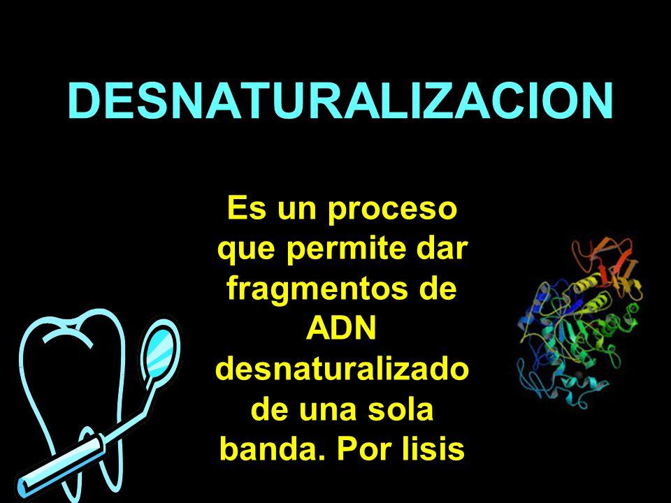 DESNATURALIZACION Es un proceso que permite dar fragmentos de ADN desnaturalizado de una sola banda.