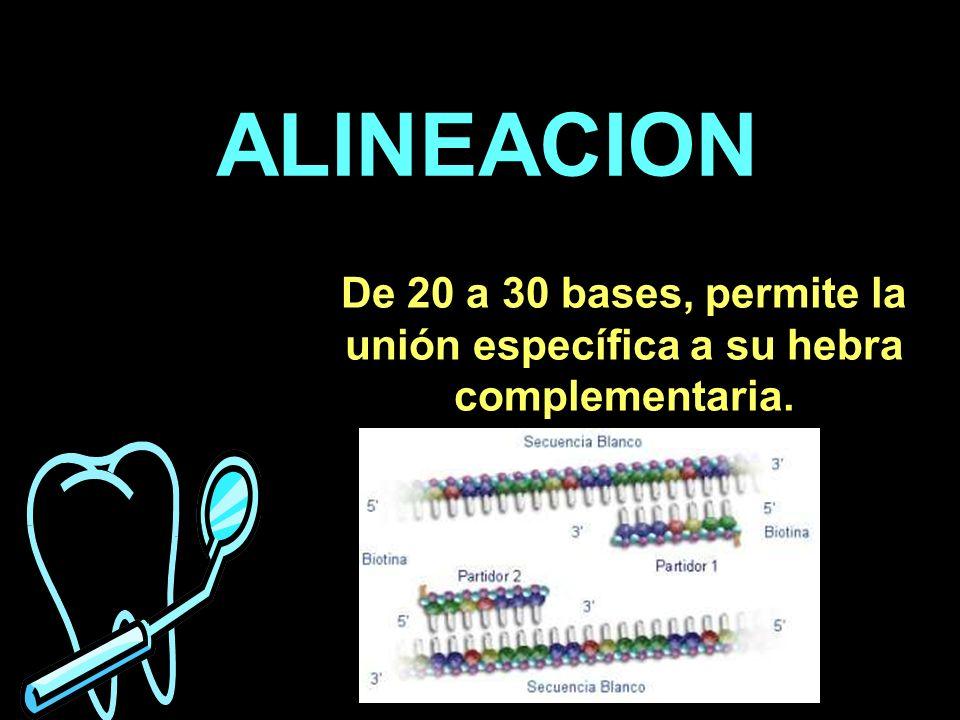 ALINEACION De 20 a 30 bases, permite la unión específica a su hebra complementaria.