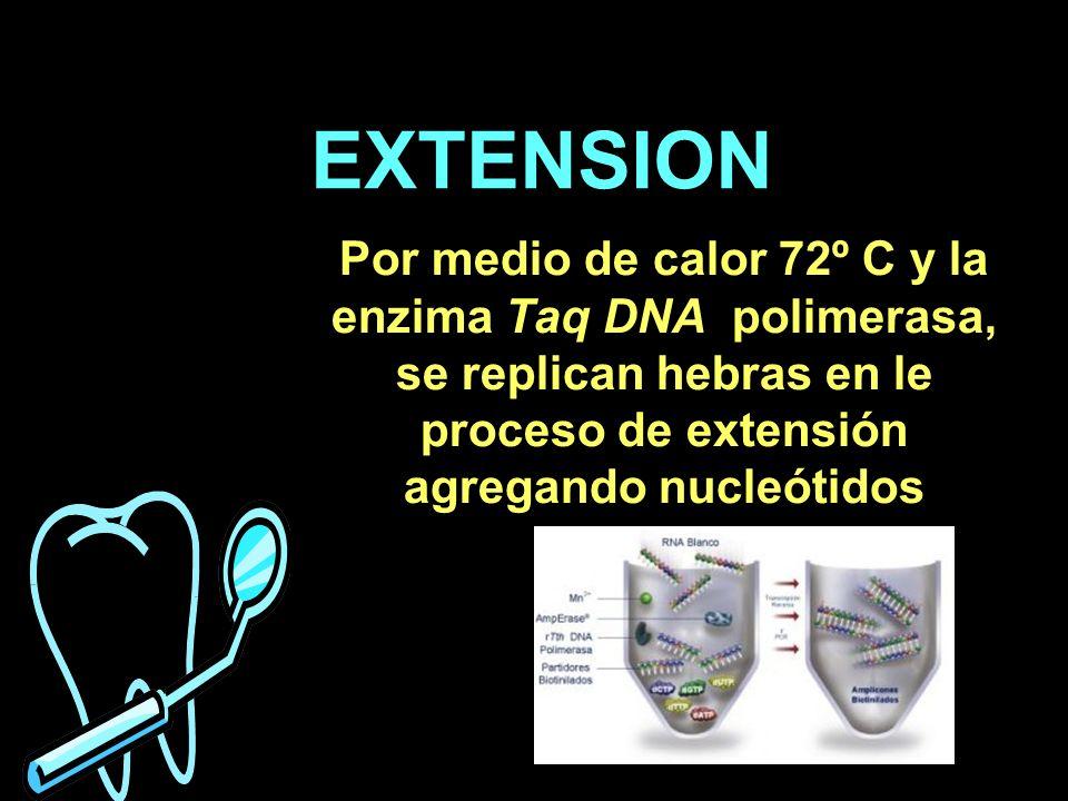 EXTENSIONPor medio de calor 72º C y la enzima Taq DNA polimerasa, se replican hebras en le proceso de extensión agregando nucleótidos.