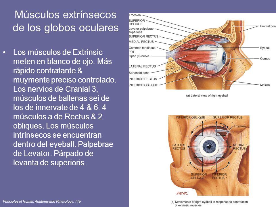 Bonito Anatomía De Los Músculos Extraoculares Molde - Imágenes de ...