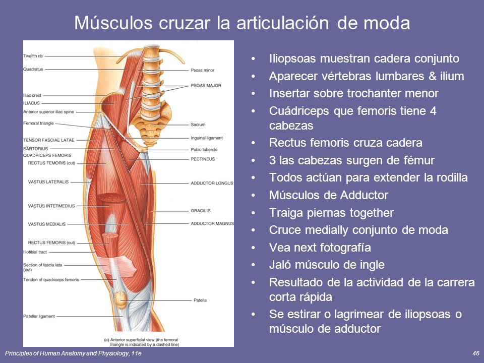 Único Músculos Articulación De La Cadera Viñeta - Imágenes de ...