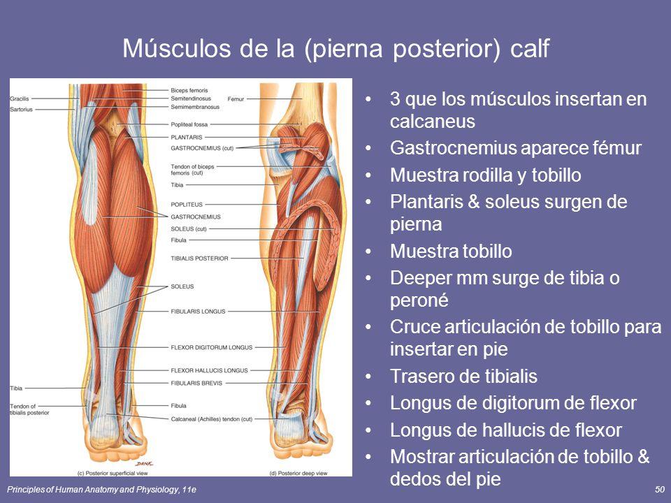 Hermosa Diagrama De Los Músculos Del Tobillo Colección de Imágenes ...