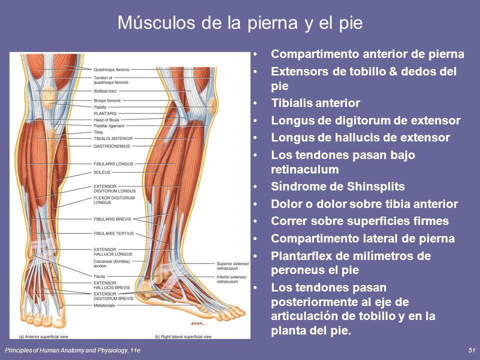 Encantador Anatomía Músculos Traseros Más Bajos Colección - Imágenes ...
