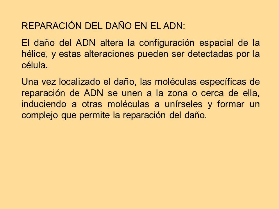 REPARACIÓN DEL DAÑO EN EL ADN: