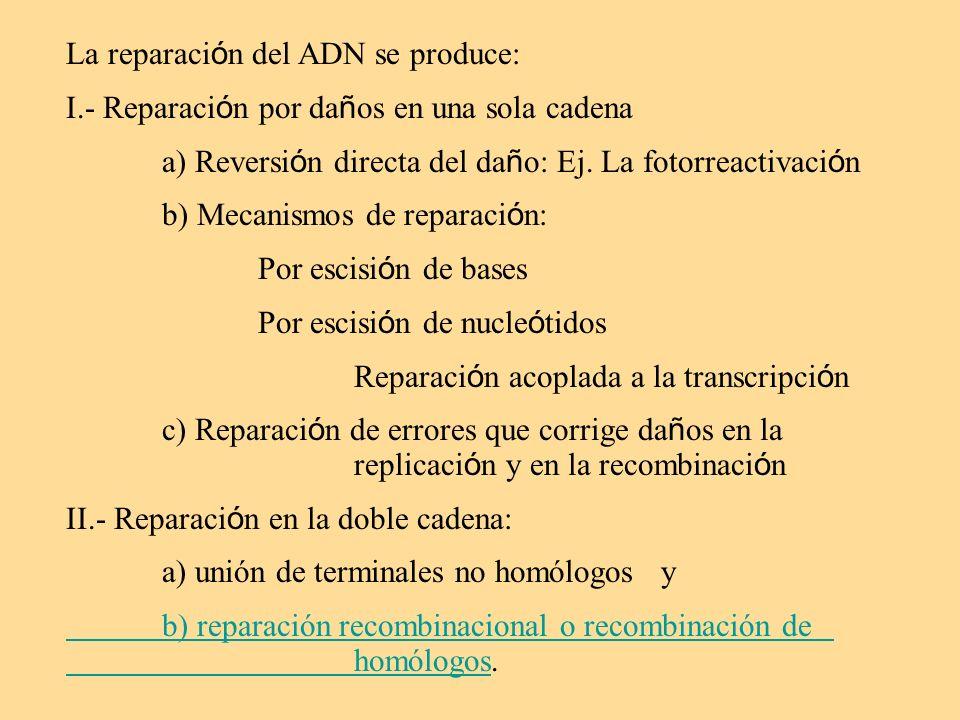 La reparación del ADN se produce:
