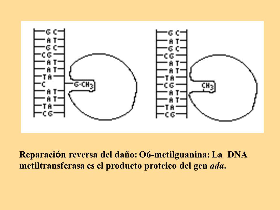 Reparación reversa del daño: O6-metilguanina: La DNA metiltransferasa es el producto proteico del gen ada.
