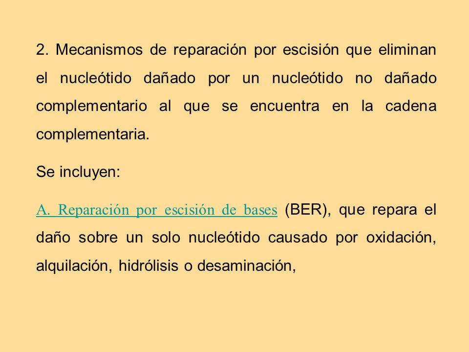 2. Mecanismos de reparación por escisión que eliminan el nucleótido dañado por un nucleótido no dañado complementario al que se encuentra en la cadena complementaria.