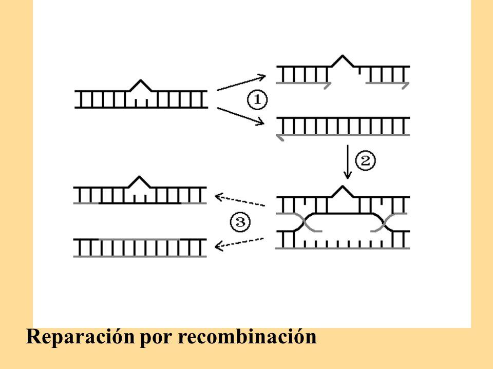 Reparación por recombinación