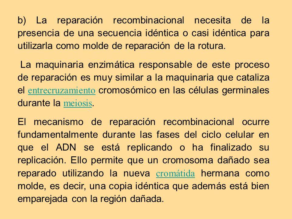 b) La reparación recombinacional necesita de la presencia de una secuencia idéntica o casi idéntica para utilizarla como molde de reparación de la rotura.