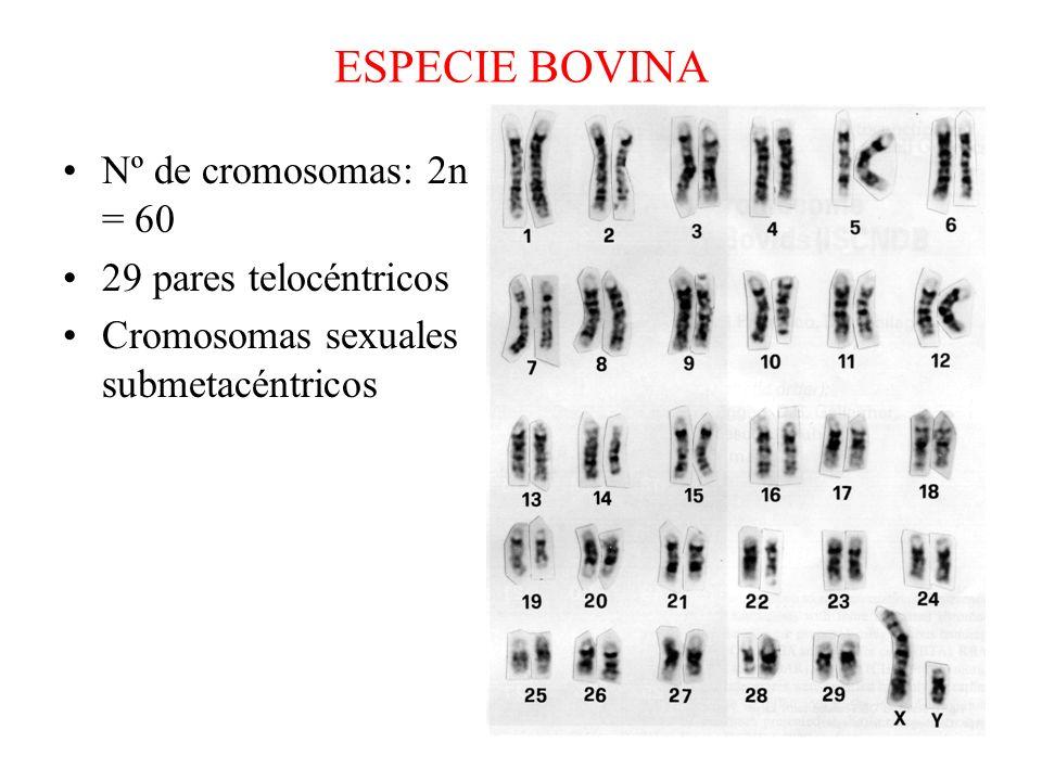 ESPECIE BOVINA Nº de cromosomas: 2n = 60 29 pares telocéntricos