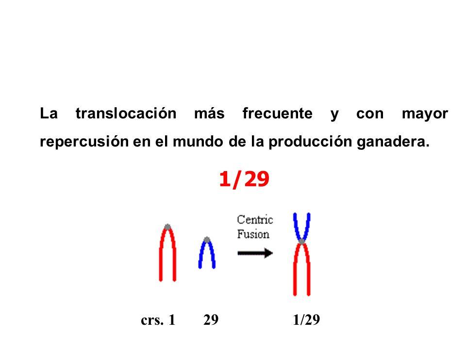 La translocación más frecuente y con mayor repercusión en el mundo de la producción ganadera.