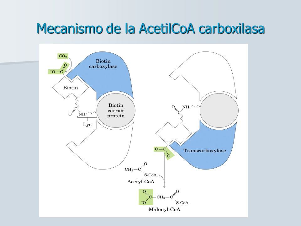 Mecanismo de la AcetilCoA carboxilasa