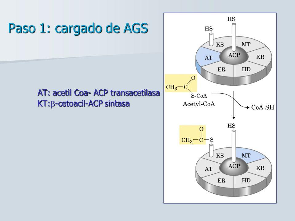 Paso 1: cargado de AGS. AT: acetil Coa- ACP transacetilasa