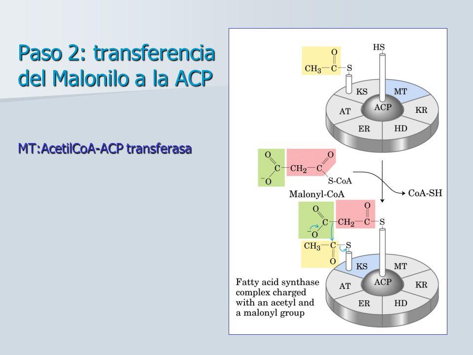 Paso 2: transferencia del Malonilo a la ACP MT:AcetilCoA-ACP transferasa