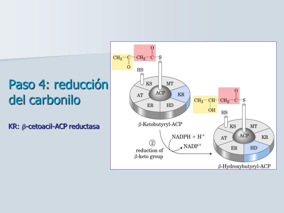 Paso 4: reducción del carbonilo KR: b-cetoacil-ACP reductasa