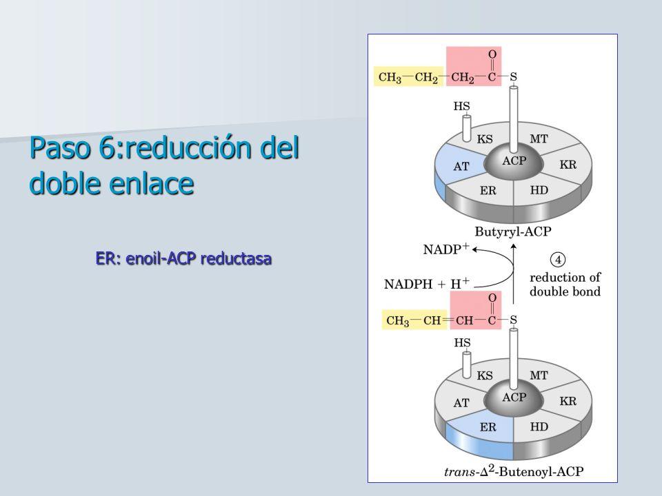 Paso 6:reducción del doble enlace ER: enoil-ACP reductasa