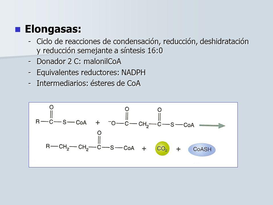 Elongasas: Ciclo de reacciones de condensación, reducción, deshidratación y reducción semejante a síntesis 16:0.