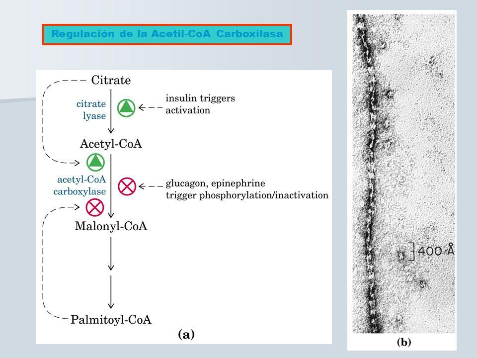 Regulación de la Acetil-CoA Carboxilasa