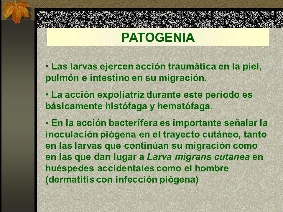 PATOGENIA Las larvas ejercen acción traumática en la piel, pulmón e intestino en su migración.