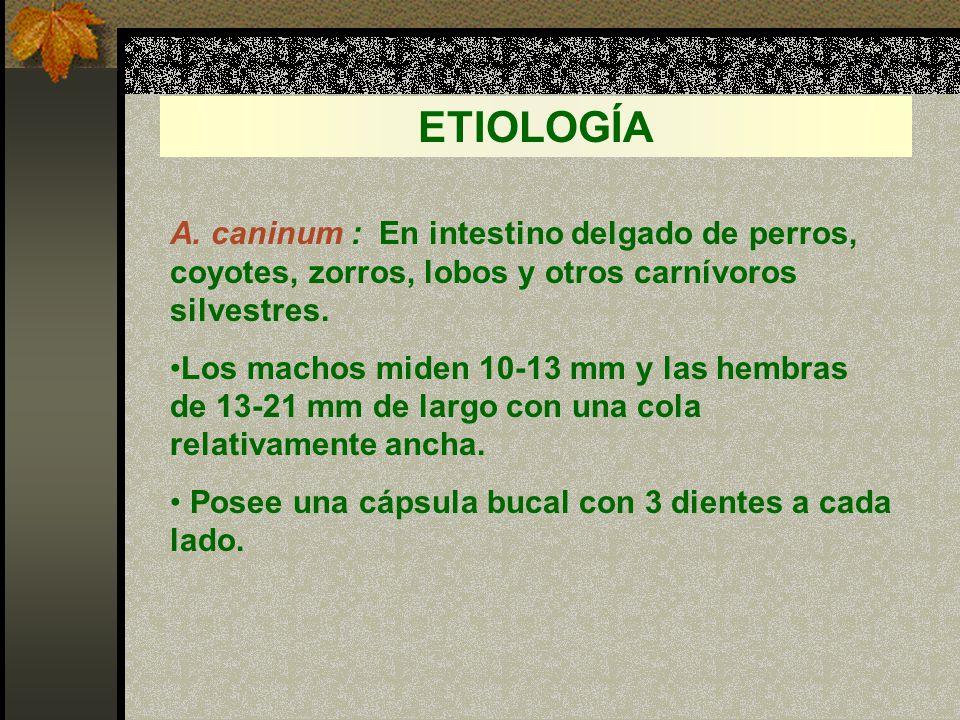 ETIOLOGÍA A. caninum : En intestino delgado de perros, coyotes, zorros, lobos y otros carnívoros silvestres.