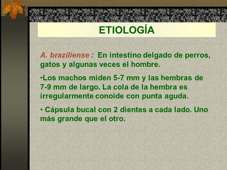 ETIOLOGÍA A. braziliense : En intestino delgado de perros, gatos y algunas veces el hombre.