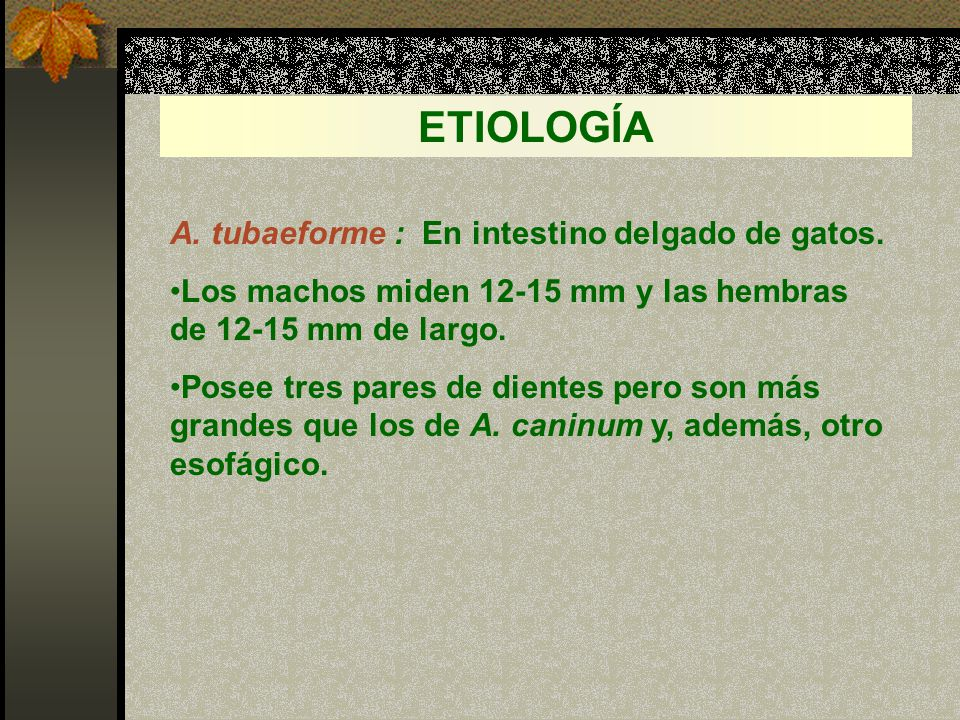 ETIOLOGÍA A. tubaeforme : En intestino delgado de gatos.