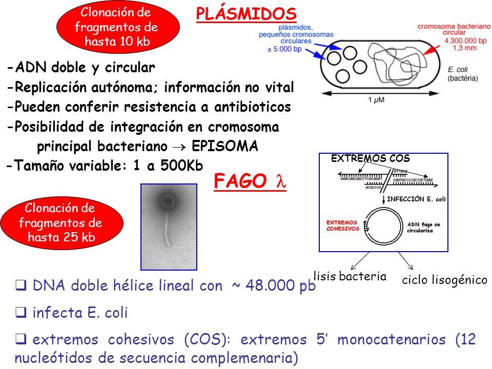 FAGO  PLÁSMIDOS DNA doble hélice lineal con ~ 48.000 pb