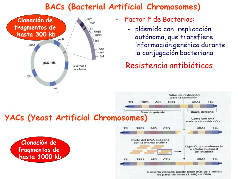 BACs (Bacterial Artificial Chromosomes)