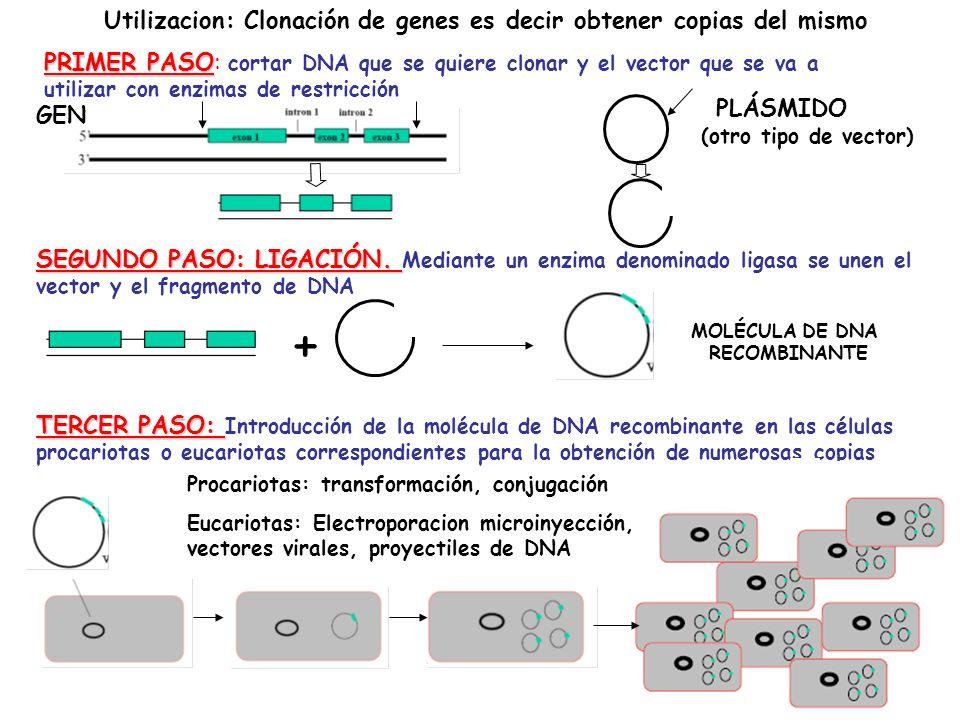 + Utilizacion: Clonación de genes es decir obtener copias del mismo