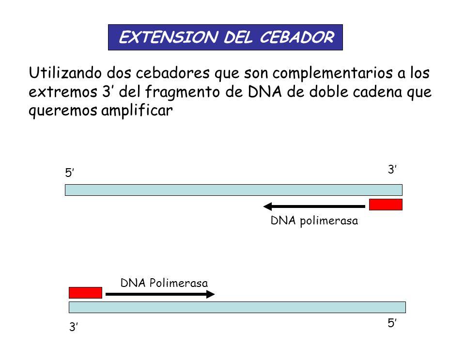 EXTENSION DEL CEBADOR Utilizando dos cebadores que son complementarios a los extremos 3' del fragmento de DNA de doble cadena que queremos amplificar.