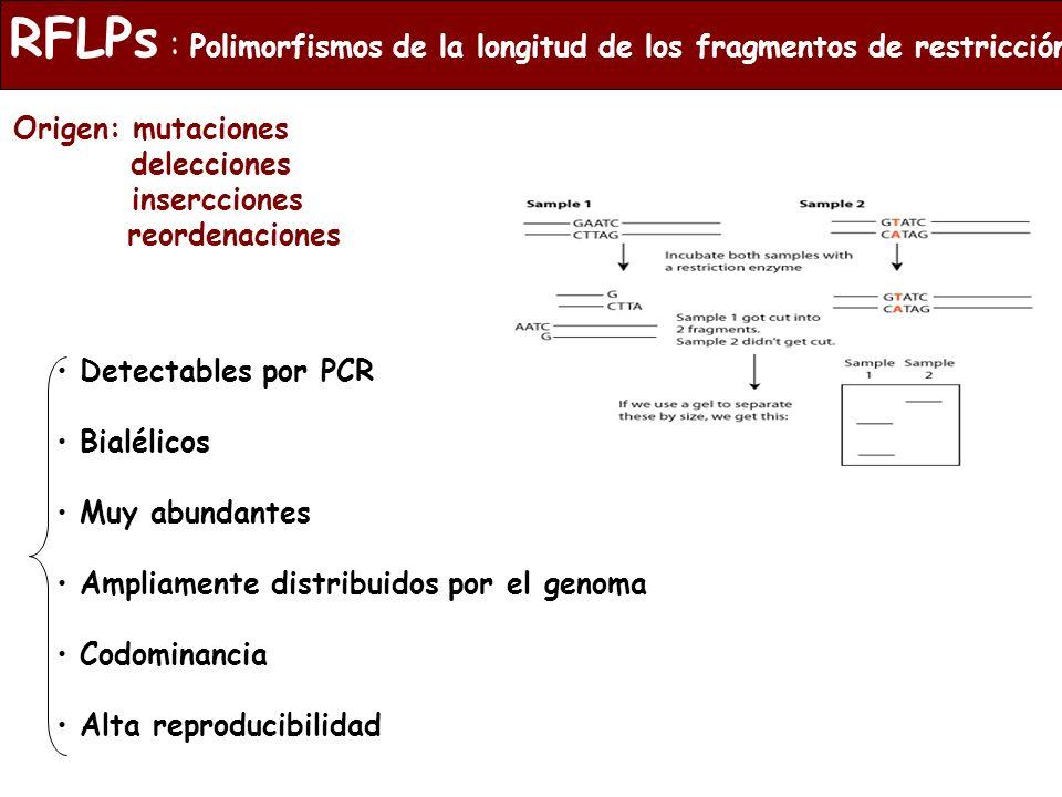 RFLPs : Polimorfismos de la longitud de los fragmentos de restricción
