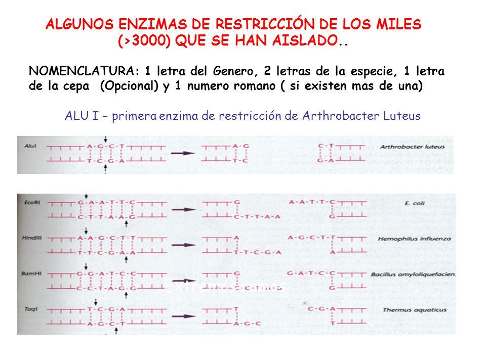 ALGUNOS ENZIMAS DE RESTRICCIÓN DE LOS MILES (>3000) QUE SE HAN AISLADO..