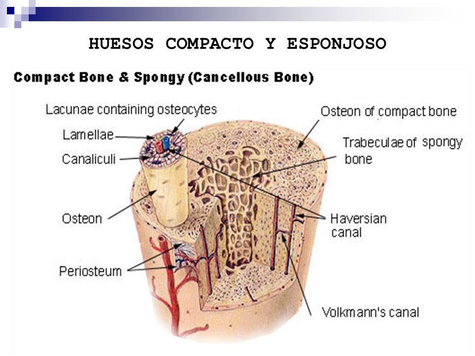 Dorable Foto De Hueso Compacto Imagen - Anatomía de Las Imágenesdel ...
