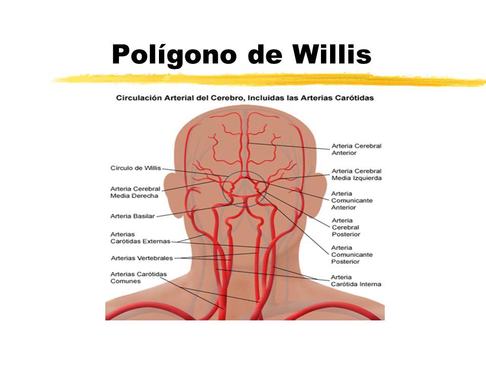 Vistoso Círculo De Willis Mri Anatomía Molde - Imágenes de Anatomía ...