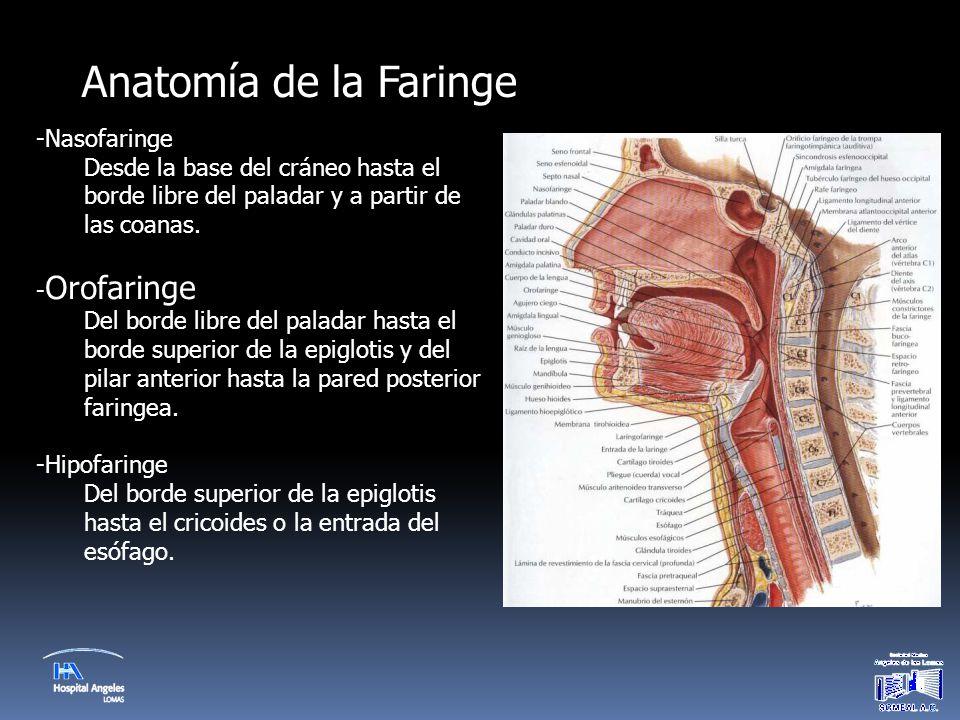 Hermosa Anatomía De La Garganta Amígdalas Colección - Anatomía de ...