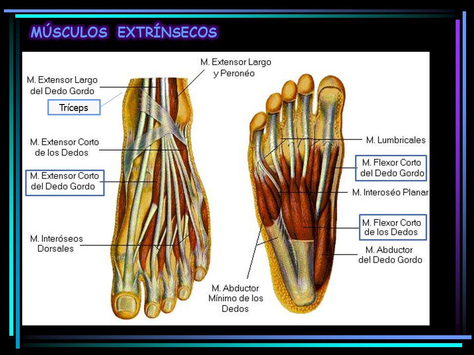 Increíble Los Músculos Del Pie De Anatomía Ornamento - Anatomía de ...