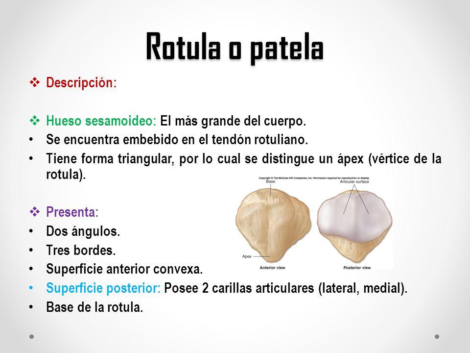Atractivo Hueso De La Rótula Inspiración - Anatomía de Las ...