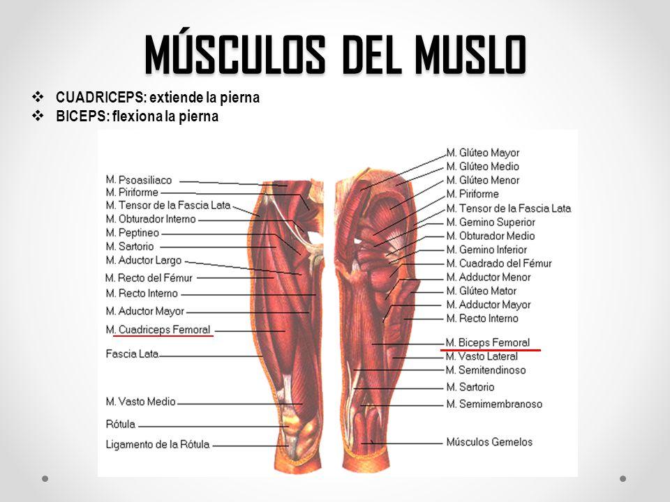 Bonito Anatomía Del Cuádriceps Cresta - Anatomía de Las Imágenesdel ...