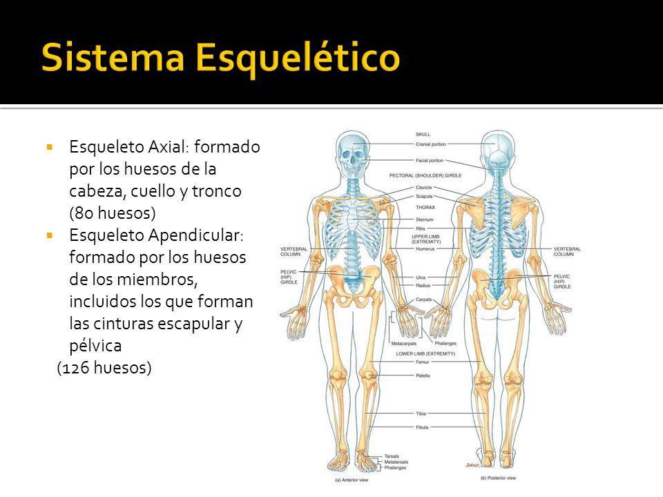 Anatomía General Profesora María Jesús Muñoz Yánez Kinesióloga ...