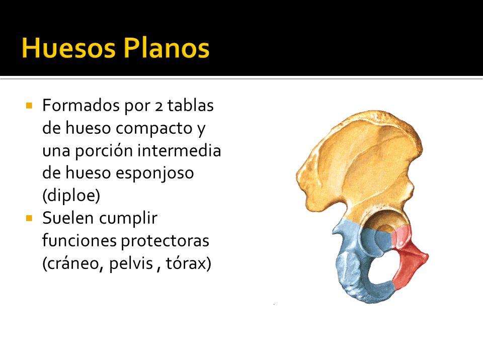 Único Anatomía Hueso Compacto Inspiración - Imágenes de Anatomía ...