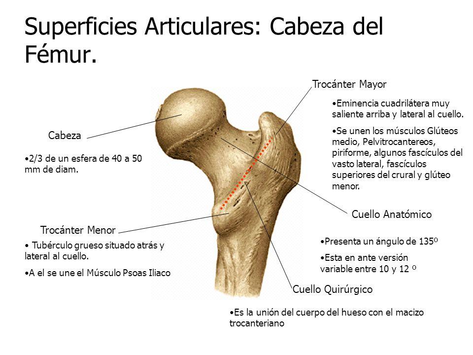Asombroso La Cabeza De La Anatomía Del Fémur Adorno - Imágenes de ...