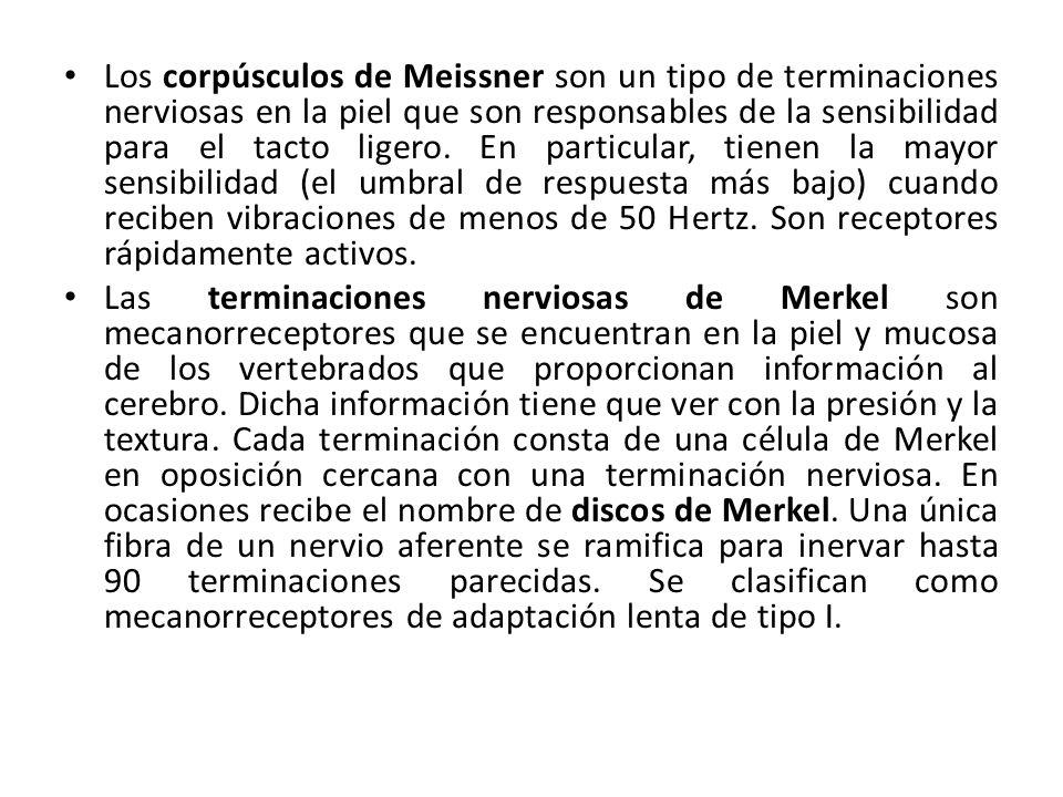 Los corpúsculos de Meissner son un tipo de terminaciones nerviosas en la piel que son responsables de la sensibilidad para el tacto ligero. En particular, tienen la mayor sensibilidad (el umbral de respuesta más bajo) cuando reciben vibraciones de menos de 50 Hertz. Son receptores rápidamente activos.