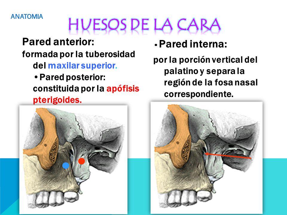 Encantador Anatomía Tuberosidad Del Maxilar Imágenes - Anatomía de ...