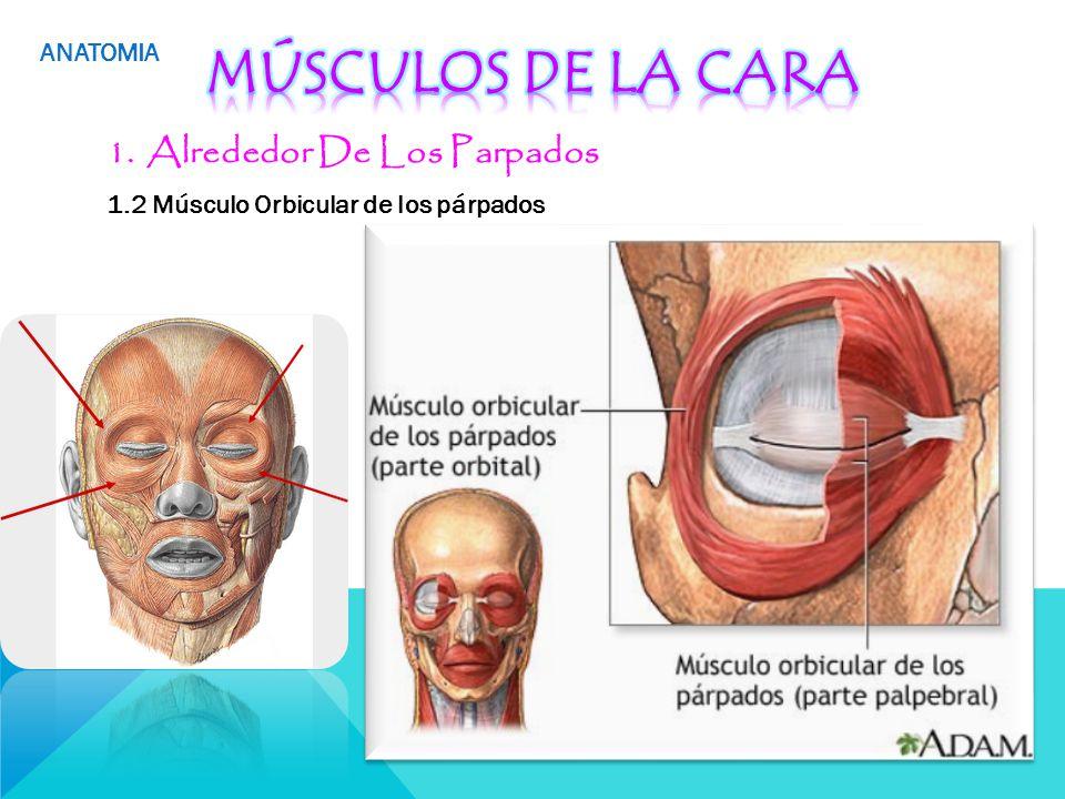 Encantador Anatomía Del Párpado Componente - Imágenes de Anatomía ...