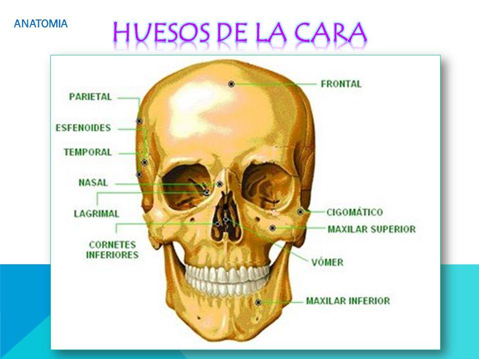 Hermosa Anatomía Quirúrgica Del Maxilar Viñeta - Anatomía de Las ...